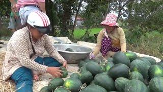 Tin Tức 24h: Nông dân trồng dưa Tết ở Ninh Thuận lỗ nặng