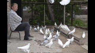 Голуби Турецкая Такла и Краснадары / Turkse takla duiven  ( Лев Горбунов , Тольятти, Россия )