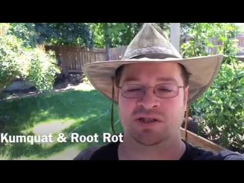Video How I Cure Root Rot on the Kumquat