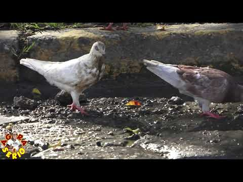 Pombos se alimentam no chafariz de merda da Sabesp de Juquitiba