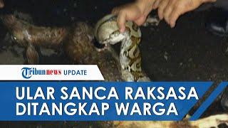 Detik-detik Ular Sanca Raksasa Sepanjang 5 Meter sedang Makan Kambing Ditangkap Warga Palmerah