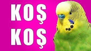 KOŞ KOŞ Sesi Muhabbet Kuşu Konuşturma Egzersizi