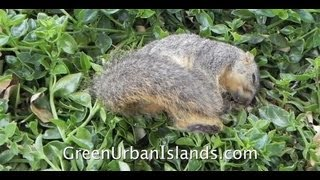 IED s  ---   How I Kill the Squirrels and Rats Attacking My Orchard