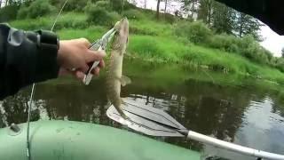 Какая рыба водится в Западной Двине
