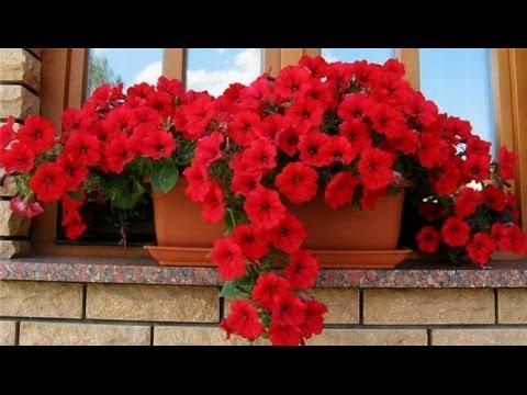 ПЕТУНИЯ - королева балконов. Размножение и уход в домашних условиях