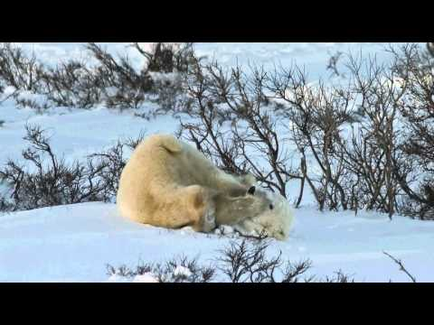 Polar Bear - Chris Wilhelm