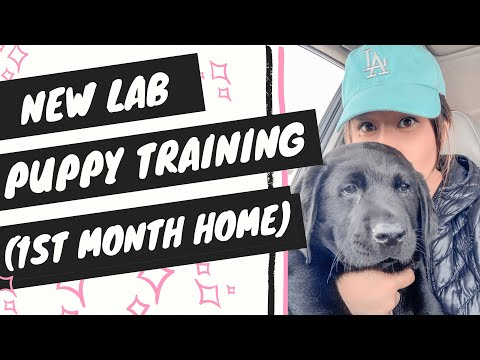 Labrador Puppy Training (First Month Home) - YouTube