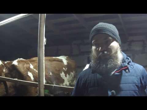Какую породу коров выбрать? Как получить субсидию на покупку нетелей? Мой опыт и ошибки.