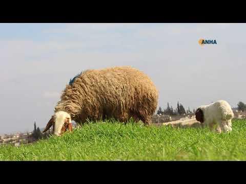 بالصور و الفيديو…ربيع قبل الموعد في عفرين