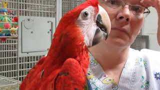 Ruby Macaw Female REHOME 8 months old