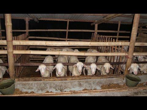 Video Penggemukan Kambing 082138373443 Budidaya Ternak kambing, Cara menggemukan Kambing