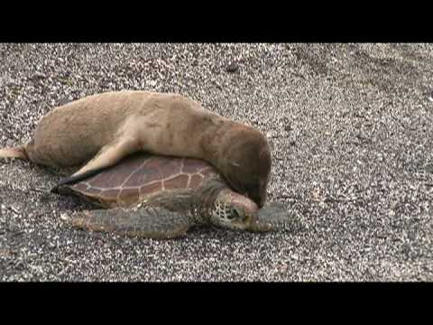 Baby Sea Lion Takes a Ride on a Sea Turtle