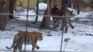 Cute Tiger cubs playing in the snow