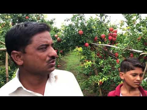 Soil charger tech.P=2, ₹350 पर पौधा खर्चा और आमदनी ₹3000 पर पौधा 💪guarantee‼️7 साल का बगीचा 👆SCT👌