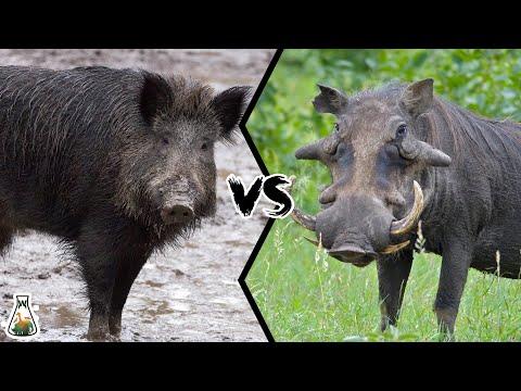 WILD BOAR VS WARTHOG - Who would win a fight?