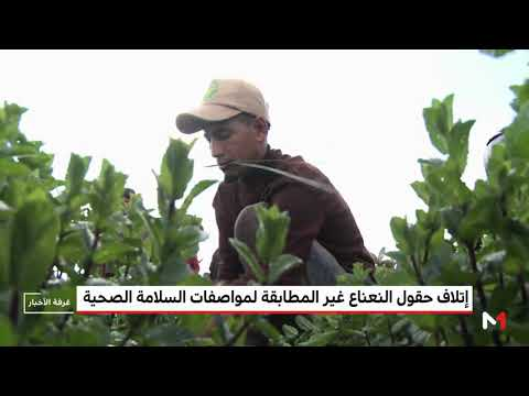 العرب اليوم - شاهد: تفاصيل قرار إتلاف حقوق النعناع غير المطابقة لمواصفات السلامة
