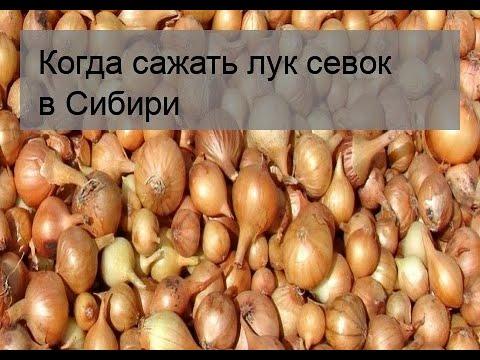 Когда сажать лук севок в Сибири