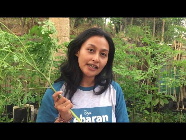 Manfaat Budidaya Kelor (moringa oleifera)