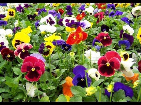 Cultivo y Variedades de  Flores Pensamiento - TvAgro por Juan Gonzalo Angel