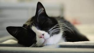 "Therapy Cat ""Duke Ellington"" Visits the ICU"