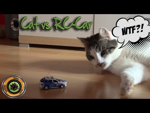 Cat vs RC-Car