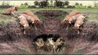 Harsh life of Wildlife 2018! Lion vs Warthog - Let