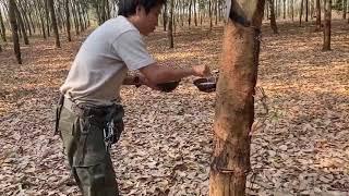 天然ゴムの樹液