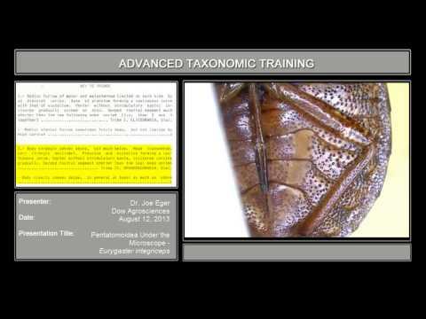 Pentatomoidea under the microscope – <em>Eurygaster integriceps</em>