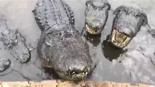 LIVE!!!!!! Alligators & Crocodiles, can you see the difference?