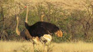 Ostriches with the sound of a Karoo Koraan