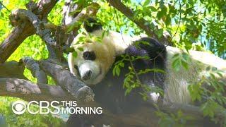 San Diego Zoo Prepares To Send Giant Pandas Back To China