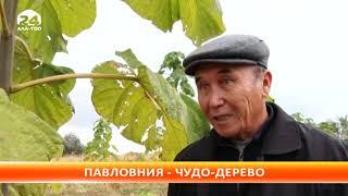 Павловния или Адамово дерево, родом из Китая теперь и в Токтогульском районе