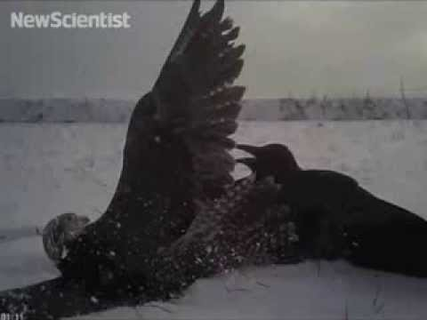 Impressive Video Of A Falcon Hunting Its Prey Is Like A WWII Dogfight