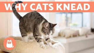 Why Does My Cat KNEAD Me? 😼 Origin and Meanings