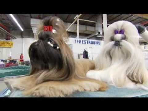 Shih Tzu Birth Processnormal Deliveries All About Puppy Dogs