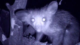 The secret life of the mysterious Aye-Aye