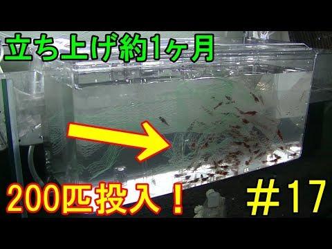 【#17】ブラックシャドーとレッドシャドーシュリンプを100匹ずつ水槽に追加!水槽立ち上げ約1ヶ月【カボチャのビーシュリンプ日記】