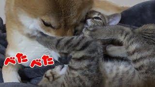 肉球大好き♡子猫姉妹で柴犬にベタベタ♪--- Kitten sister love Shiba Inu---