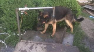 Приколы с собаками. Необычный способ питья воды у собаки. Смотрите до конца