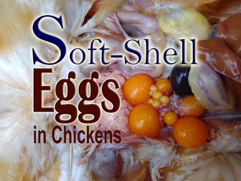 , title : 'Missing Shell Eggs, Soft Shell Eggs, Thin, Misshapen, Abnormal Eggs in Chickens Part 1