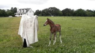 Young foals meet the tarp