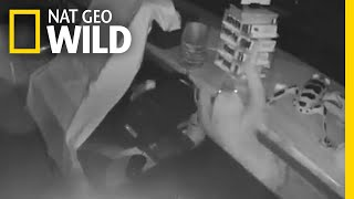 Sloth 'Thief' Commits Slowest Burglary Ever | Nat Geo Wild