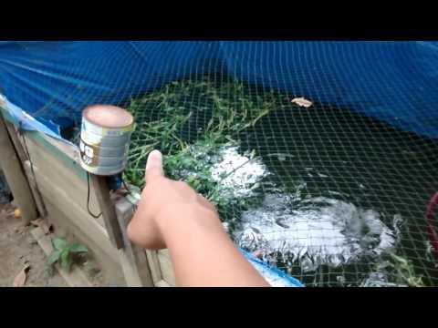 Video Ternak Ikan Di Lahan Sempit