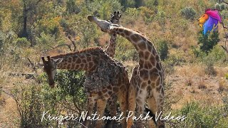 Wild Giraffe Neck Fight in Battle at Kruger National Park
