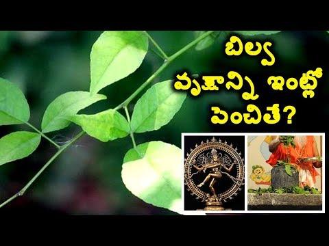 బిల్వ వృక్షాన్ని ఇంట్లో పెంచితే? bael leaf to lord shiva benefits