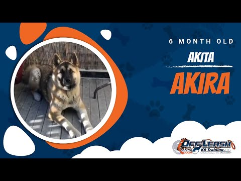 Akita Obedience!   Off-Leash K9 Training