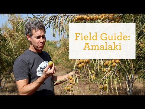 Amalaki - An Ayurvedic Antioxidant