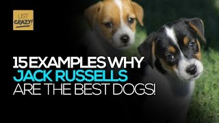 Jack Russells   15 Examples How Jack Russell Terriers Are The Best Dogs. Funny And Cute!