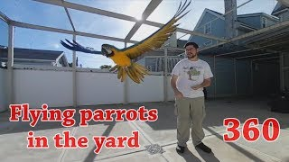 360 Video Flying My Parrots in the Yard