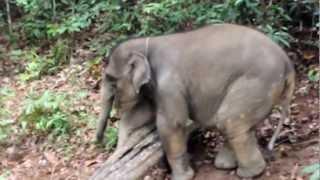 Слонёнок Бона учится преодолевать препятствия